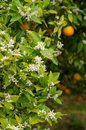 Orange tree blossom azahar the aromatic springtime in orchards Royalty Free Stock Photography