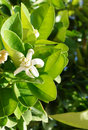 Orange tree blossom beautiful of flowers Royalty Free Stock Images