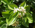 Orange tree blossom beautiful of white flowers Royalty Free Stock Photo