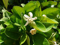 Orange tree blossom beautiful of white flowers Stock Images