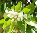 Orange tree blossom selective focus on the flower Royalty Free Stock Photos