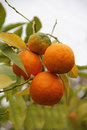Orange on the tree four treen Royalty Free Stock Photography
