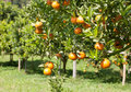 Orange tree fresh on Stock Image