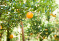 Orange on tree fresh Stock Image