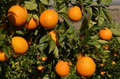 Orange tree with fresh oranges Stock Photography