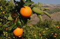Orange tree with fresh oranges Royalty Free Stock Photo
