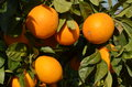 Orange tree with fresh oranges Stock Photo