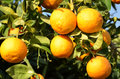 Orange tree with fresh oranges Stock Photos
