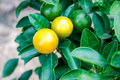 Orange tree with fruit and green leaves Royalty Free Stock Photo