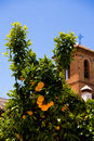 Orange tree with fruits against the church Stock Image