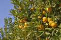 Orange tree with fruits detail of an a lot of agriculture concept Royalty Free Stock Photos