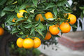 Orange tree with fruits and flowers in shining sun Royalty Free Stock Photos