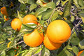 Orange tree full of oranges Stock Images