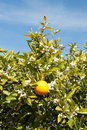 An orange tree in full spring blossom growing on orchard near griffith new south wales australia Stock Images