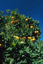 Orange tree garden with in california Royalty Free Stock Images