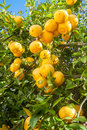Orange tree in the garden. Citrus Fruit Royalty Free Stock Photo