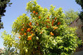 Orange tree that grew in the alhambra ripe fruit Stock Photo