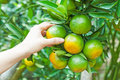 Orange tree hand and in plantation Royalty Free Stock Photography