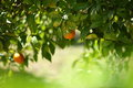 Orange tree with hanging fruit in an orchard Royalty Free Stock Image