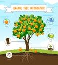 Orange tree infographic vector Royalty Free Stock Photo