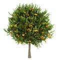Orange tree isolated on white Royalty Free Stock Photo