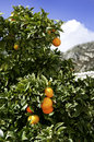 Orange tree and mountain Stock Photography