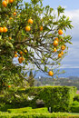 Orange tree with oranges in garden Royalty Free Stock Image