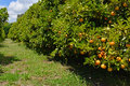 Orange Tree Orchard With Ripe Fruit Royalty Free Stock Photo