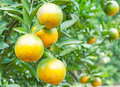 Orange tree in the plantation Royalty Free Stock Photos