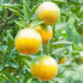 Orange tree in the plantation Stock Image