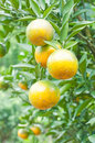 Orange tree in the plantation Royalty Free Stock Photo