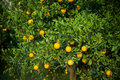 Orange tree plants rural scene Stock Photos