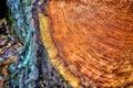 Orange Tree Rings Royalty Free Stock Photo