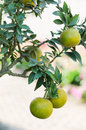 Orange tree with ripe fruits Royalty Free Stock Photos