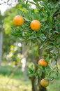 Orange tree with ripe fruits Royalty Free Stock Photo