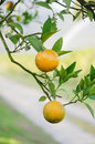 Orange tree with ripe fruits Royalty Free Stock Images