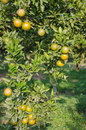 Orange tree with ripe fruits Stock Photography