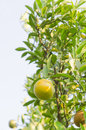 Orange tree with ripe fruits Stock Images