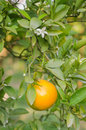 Orange tree with ripe fruits Stock Photos