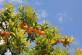 Orange tree with ripe fruits against blue sky Stock Photography