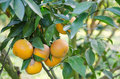 Orange tree with ripe fruits close up branch green leaves Stock Photo