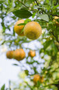 Orange tree with ripe fruits close up green leaves Royalty Free Stock Photography