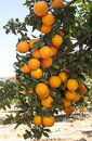 Orange tree with ripe orange fruit Royalty Free Stock Photo