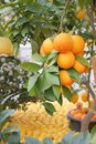 Orange tree sale lemon festival menton south france Royalty Free Stock Image