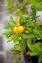 Orange tree small with ripe fruit growing on it Royalty Free Stock Photos