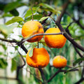 Orange tree in summer ripe fruits warm sunlight Stock Photos