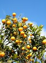 Orange tree an under blue sky with clouds Stock Photos