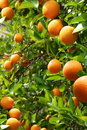 Orange trees Royalty Free Stock Photography