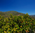Orange trees with fruits in the southern andalusia spain on a clear sunny day against magnificent mountain Royalty Free Stock Images