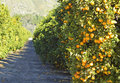 Orange trees in  garden Stock Photo